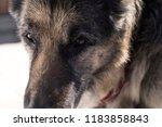 closeup portrait of a shepherd... | Shutterstock . vector #1183858843