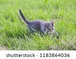 Gray Kitten Hunts In The Grass  ...