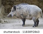 large gray boar  | Shutterstock . vector #1183892863