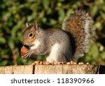 Grey Squirrel Feeding On...