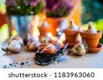 bulbs of flowers ready for... | Shutterstock . vector #1183963060