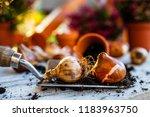 bulbs of flowers ready for... | Shutterstock . vector #1183963750