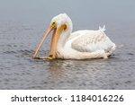 American white pelican (Pelecanus erythrorhynchos) catching the fish. Horicon marsh, Wisconsin, USA.