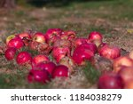 Small photo of Red, rotten, decayed, addled apples on a dry meadow with brown and green grass - Windfall in the late summer, autumn