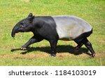 the malayan tapir  tapirus... | Shutterstock . vector #1184103019