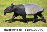 The Malayan Tapir  Tapirus...