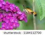 a snowberry clearwing moth is... | Shutterstock . vector #1184112700