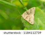 forage looper moth resting on a ... | Shutterstock . vector #1184112739