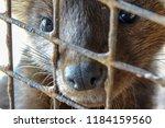 siberian  barguzin  sable in a... | Shutterstock . vector #1184159560