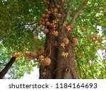 Cannonball Tree  Couroupita...