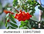 rowan berries  mountain ash ... | Shutterstock . vector #1184171860