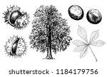 Horse Chestnut Or Conker Tree.