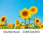 Sunflower Seeds. Sunflower...