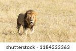 adult male lion walking through ... | Shutterstock . vector #1184233363