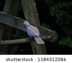 Eurasian Collared Dove Sitting...