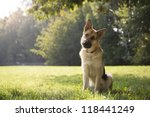 Stock photo young german shepherd sitting on grass in park and looking with attention at camera tilting head 118441249