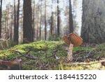 picking up mushrooms at... | Shutterstock . vector #1184415220