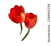 vector isolated tulip... | Shutterstock .eps vector #1184441236