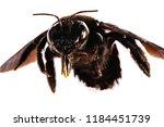 bees in details  photos of bee...   Shutterstock . vector #1184451739