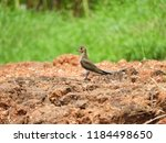 oriental pratincole bird   Shutterstock . vector #1184498650