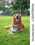 Stock photo golden retriever and kitten playing in the meadow 1184558446