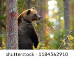 big brown bear standing couting ... | Shutterstock . vector #1184562910