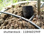 Root From Grafting Lime Tree...