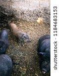 vietnamese pigs on the farm | Shutterstock . vector #1184683153