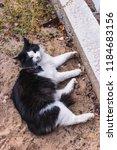 beautiful black and white cat... | Shutterstock . vector #1184683156