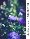beautiful violet flower in the... | Shutterstock . vector #1184683180
