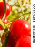 Wet Red Ripe Tomatoes On The...