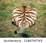 tail of a tiger  a predator's... | Shutterstock . vector #1184745763