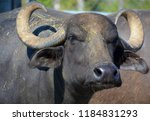 The Water Buffalo Or Domestic...