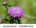 cirsium arvense or creeping... | Shutterstock . vector #1184865166