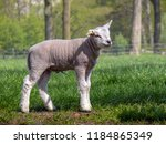Little Lamb Standing On A...