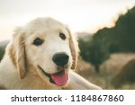 Stock photo close up of a puppy dog of the golden retriever breed puppy dog looking at the camera 1184867860