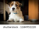 Purebred Male Jack Russell...