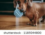 Stock photo smooth brown miniature dachshund puppy inviting the owner to play with him holding blue toy ball 1185044800