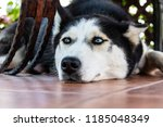 husky dog tries to have a rest... | Shutterstock . vector #1185048349