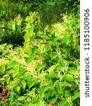 flowers of asian knotweed ...   Shutterstock . vector #1185100906