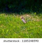 an inquisitive juvenile male ... | Shutterstock . vector #1185248590