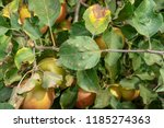 disease of leaves and branches... | Shutterstock . vector #1185274363