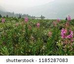 beautiful purple fireweed high... | Shutterstock . vector #1185287083