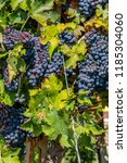 Wine Grapes Vine An Italian - Fine Art prints