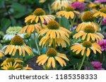 yellow echinacia flower in the... | Shutterstock . vector #1185358333