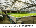 organic hydroponic vegetable... | Shutterstock . vector #1185377293