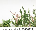 green creeper plant on a white... | Shutterstock . vector #1185404299