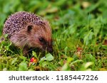 hedgehog in the autumn forest.... | Shutterstock . vector #1185447226