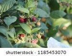 bush of raspberries with ripe... | Shutterstock . vector #1185453070