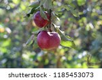 two red apples on branch on... | Shutterstock . vector #1185453073